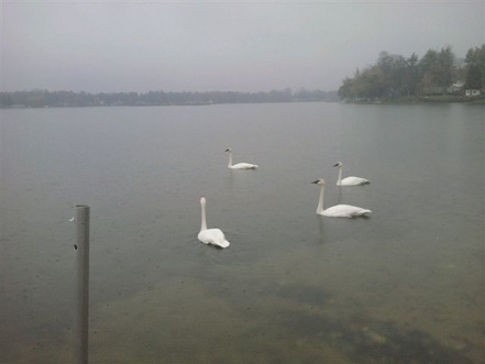 Muted Swans
